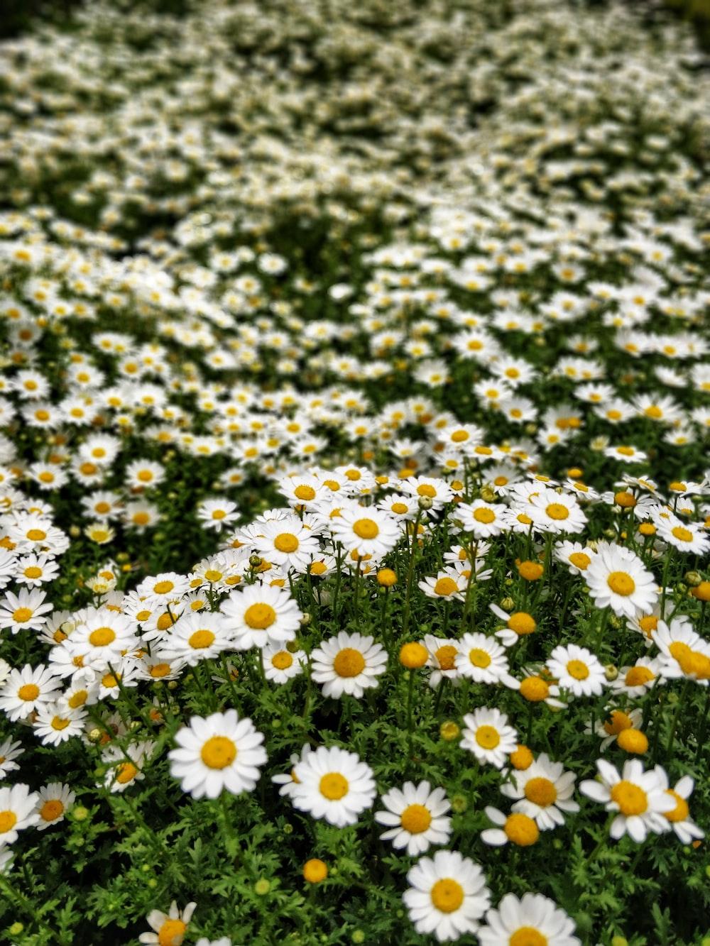 white daisy flower field at daytime