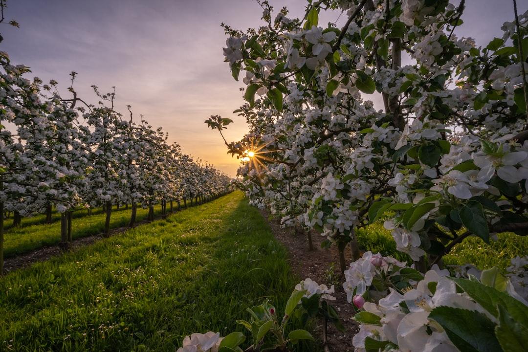 between the cherry trees
