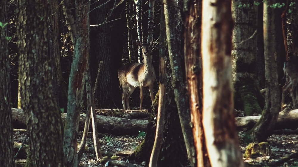 wildlife photography of buck in the middle of the forest