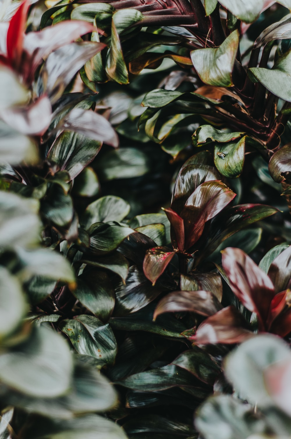 selective focus photography of maroon and green leafed plant