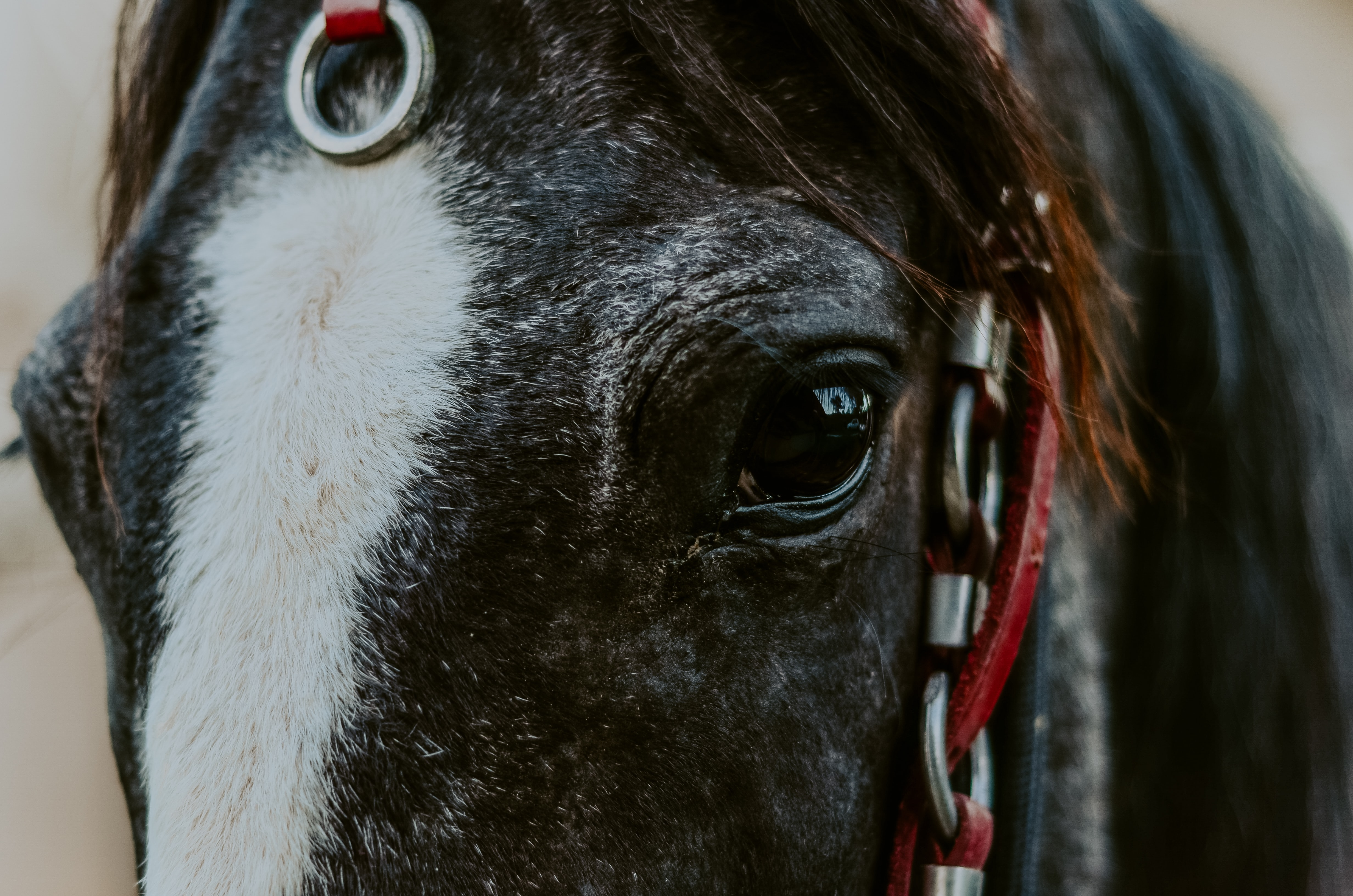 closeup photo of black and white horse
