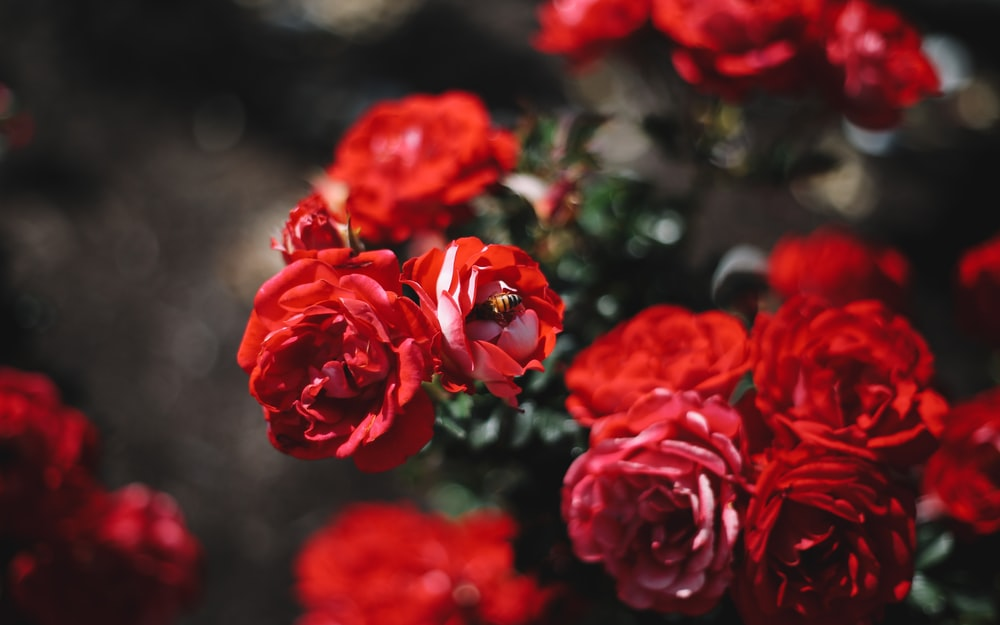 Red rose story pictures