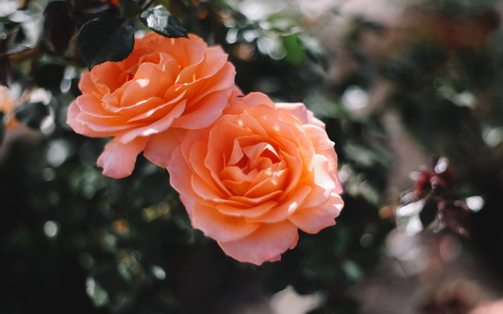two orange flowesr