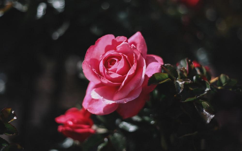 closeup photo of pink rose flower