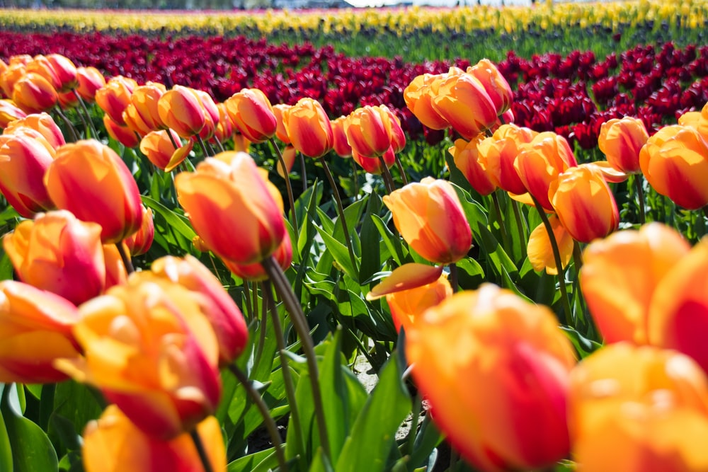 orange tulip flower field