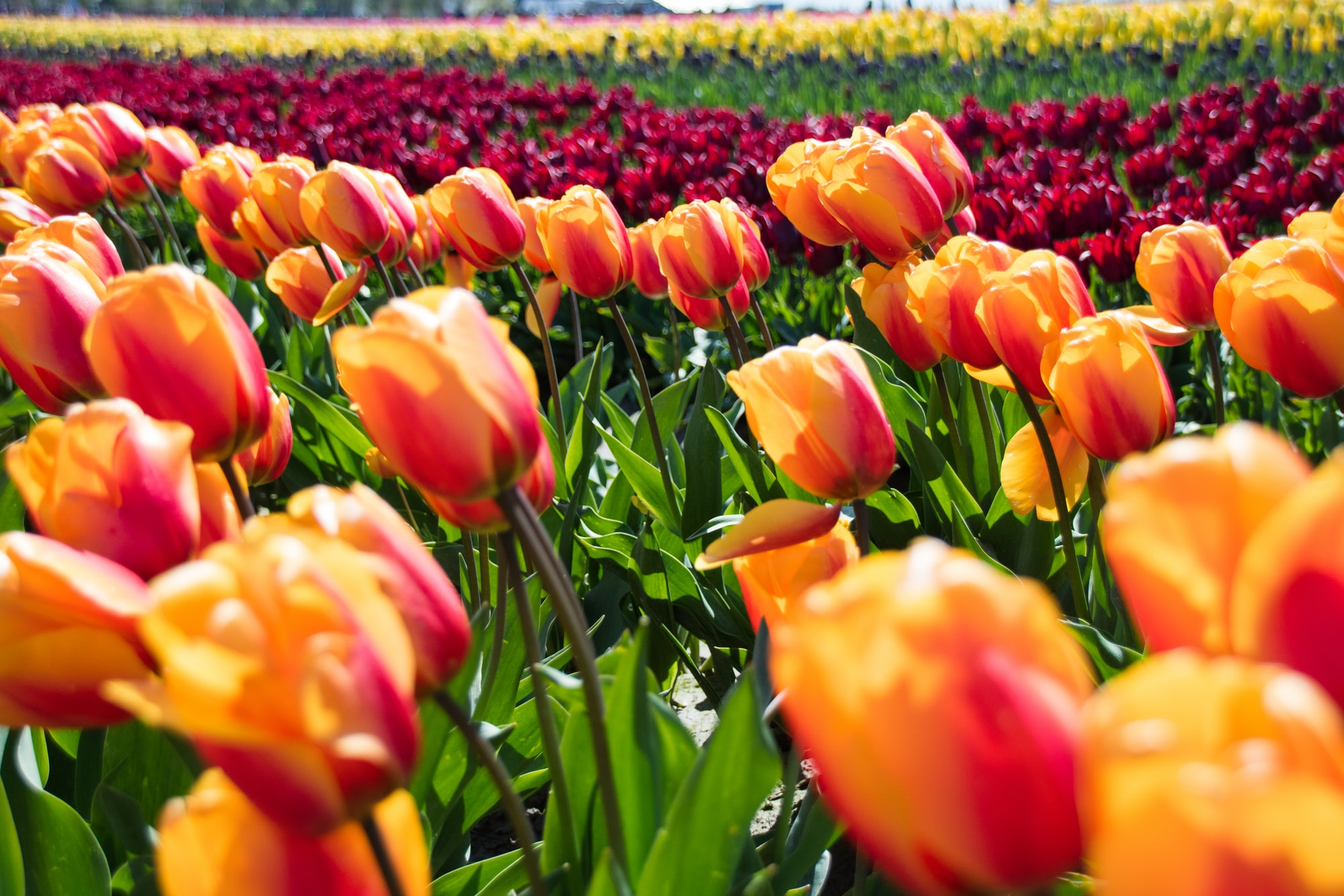 Taken at the Tulip Festival in Skagit Valley, Washington, on a warm, sunny yet very windy day. The colors in this photo give me a warm sense of happiness.