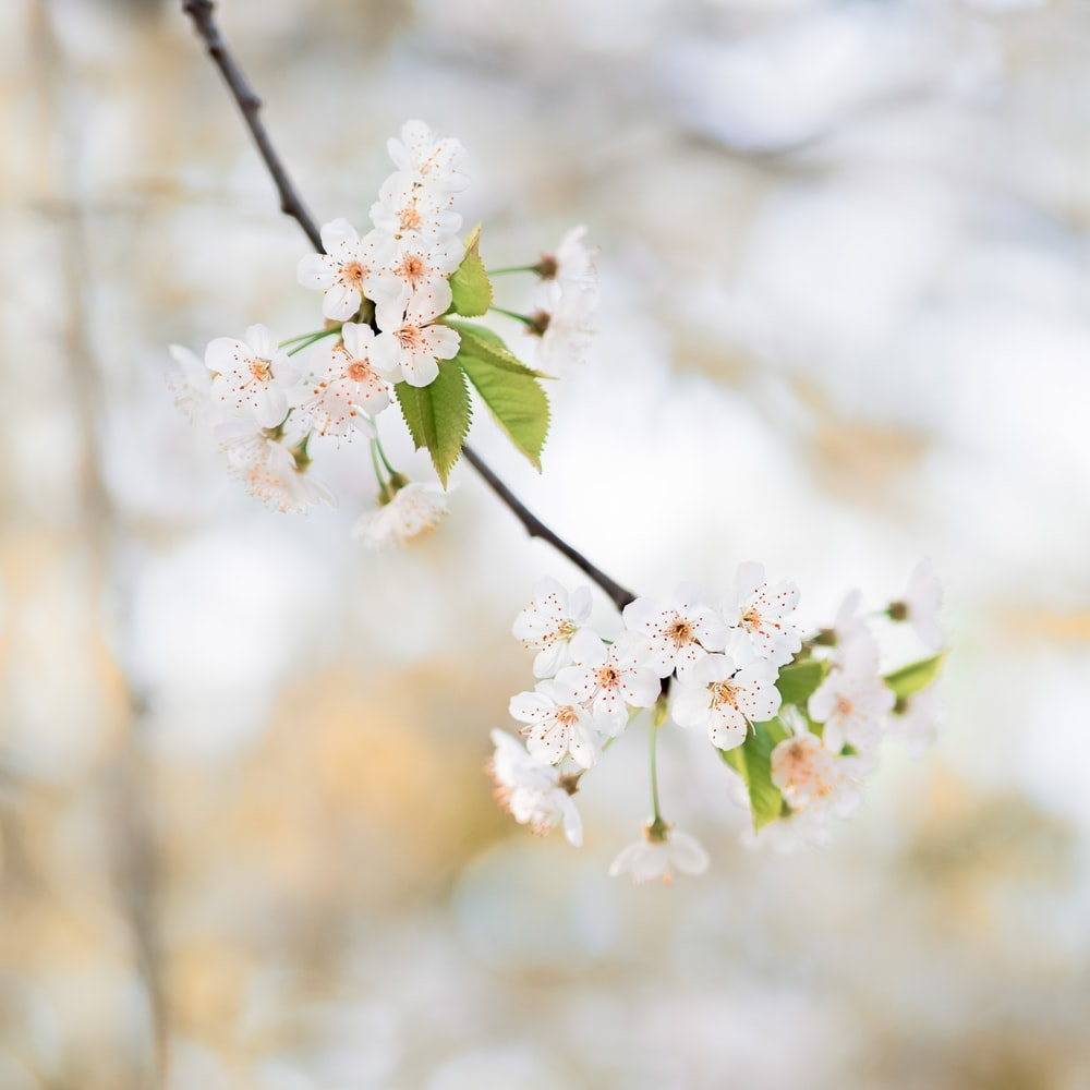 White Cherry Blossom Flower Pictures Download Free Images On Unsplash