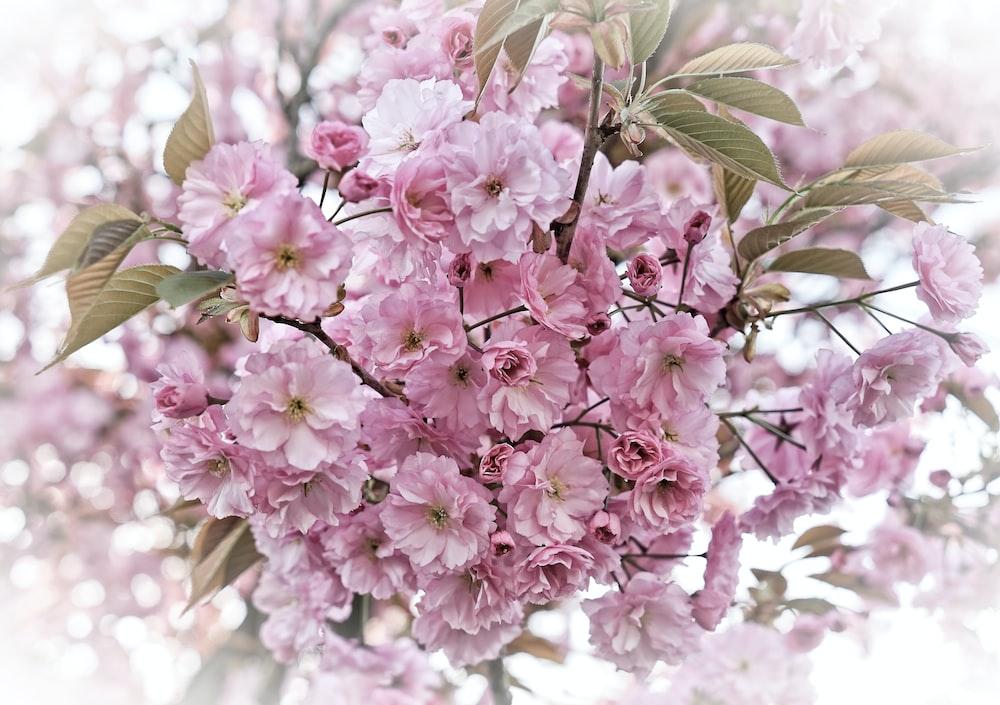 blooming pink cluster flowers