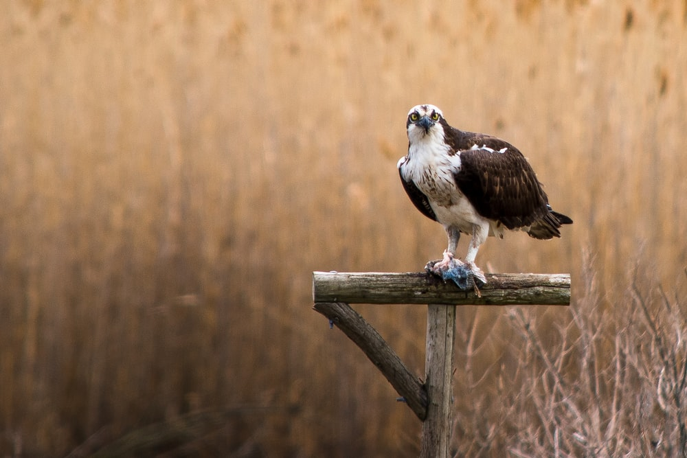 selective focus photography of black and white falcon on wooden post