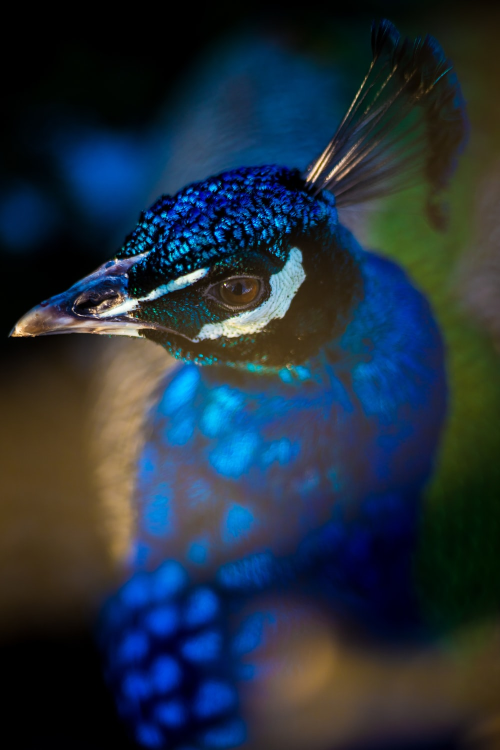 closeup photography of blue, green, and yellow peafowl