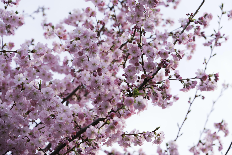 pink petaled flowering tree under white skies