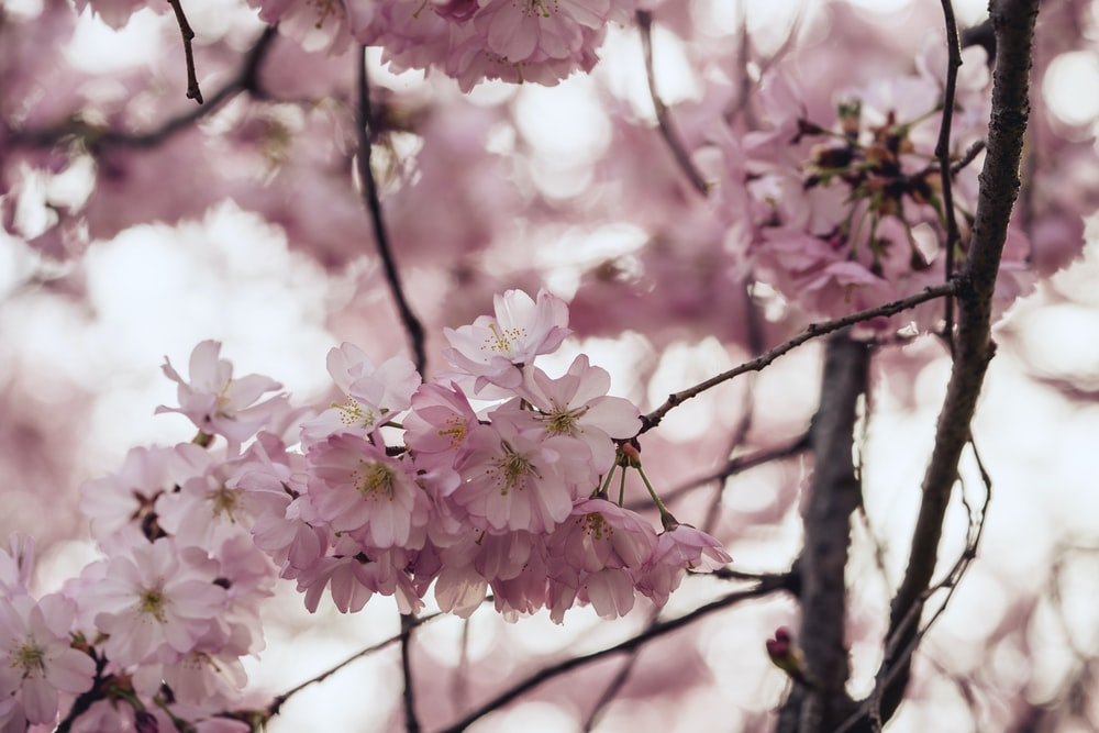 Closeup Photo Of Pink Cherry Blossoms
