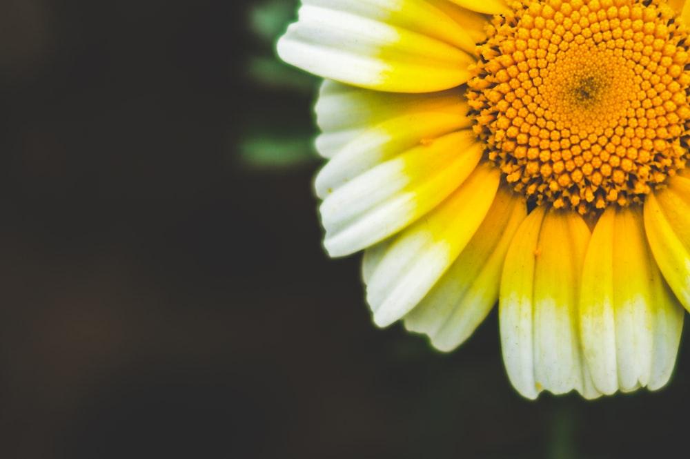 yellow and white sunflower