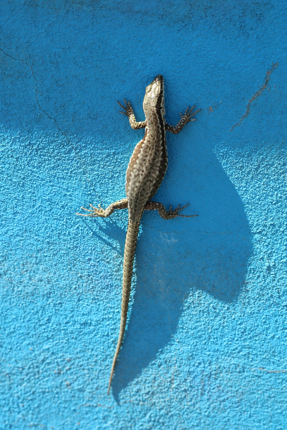brown and black lizard on blue painted wall