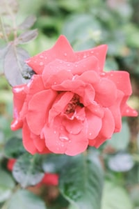 selective focus photo of red petaled flower with dew drops
