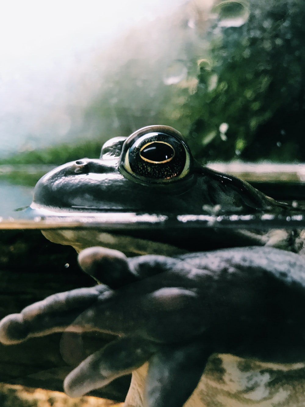 black frog in body of water macro photography