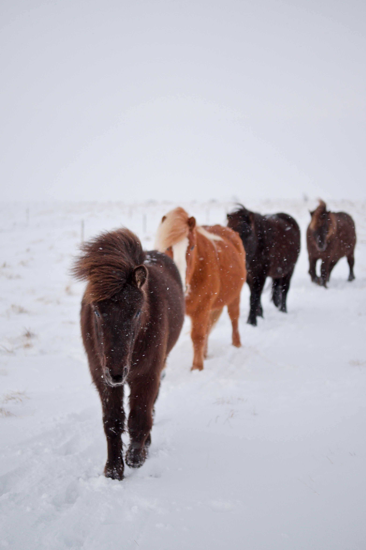 several horses walking on white snow during daytime