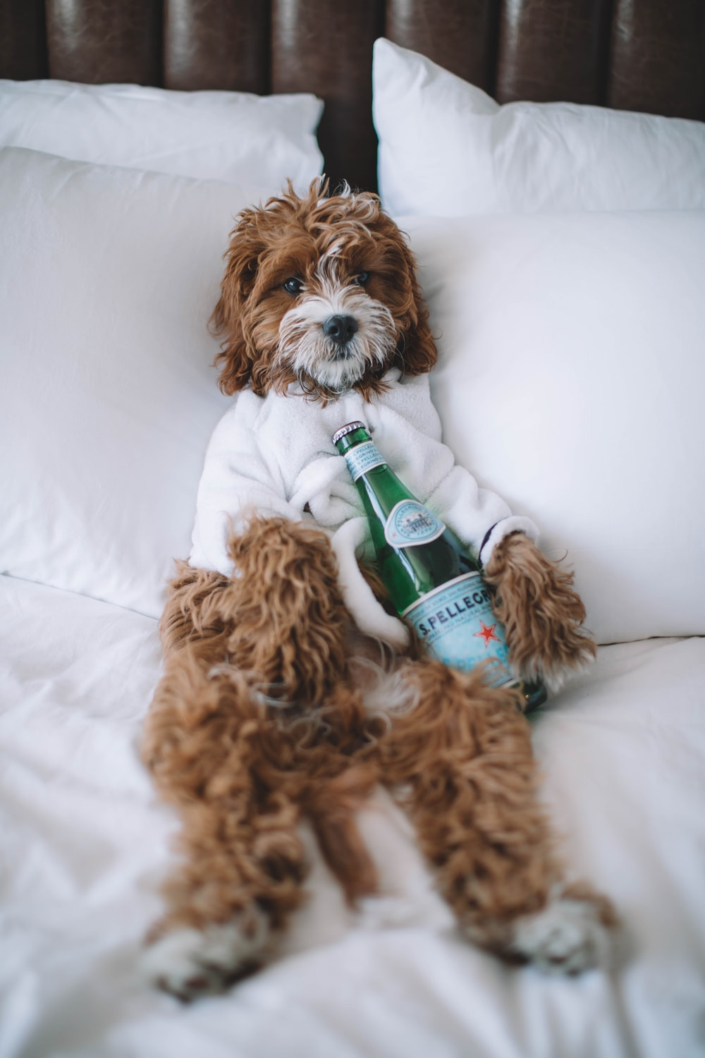 brown dog lying on bed with bottle of S. Pellegrino sparkling water