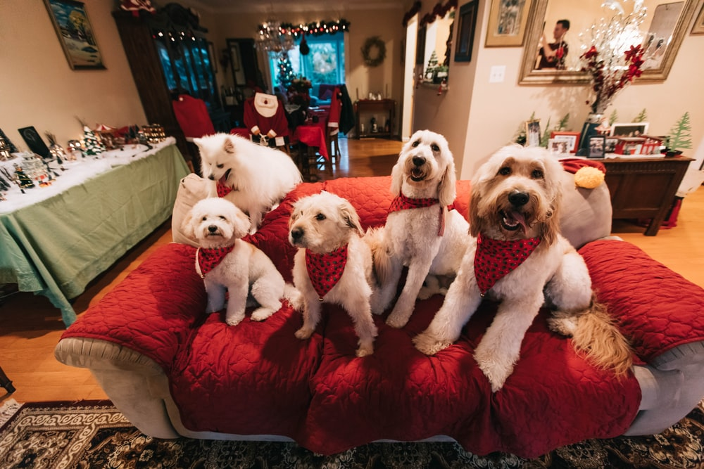 white dogs on red sofa