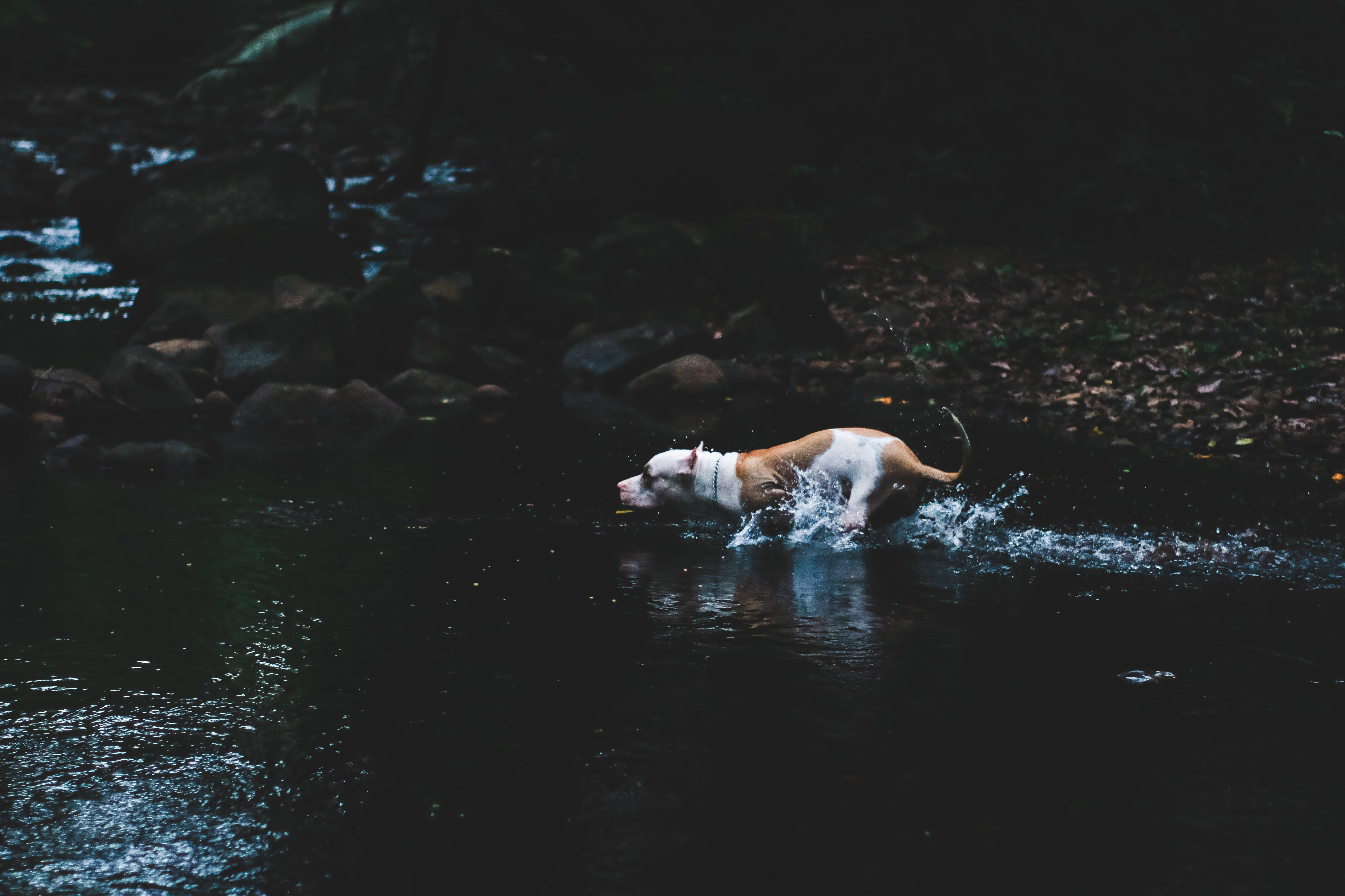 white and brown American Pit bull terrier on body of water during daytime