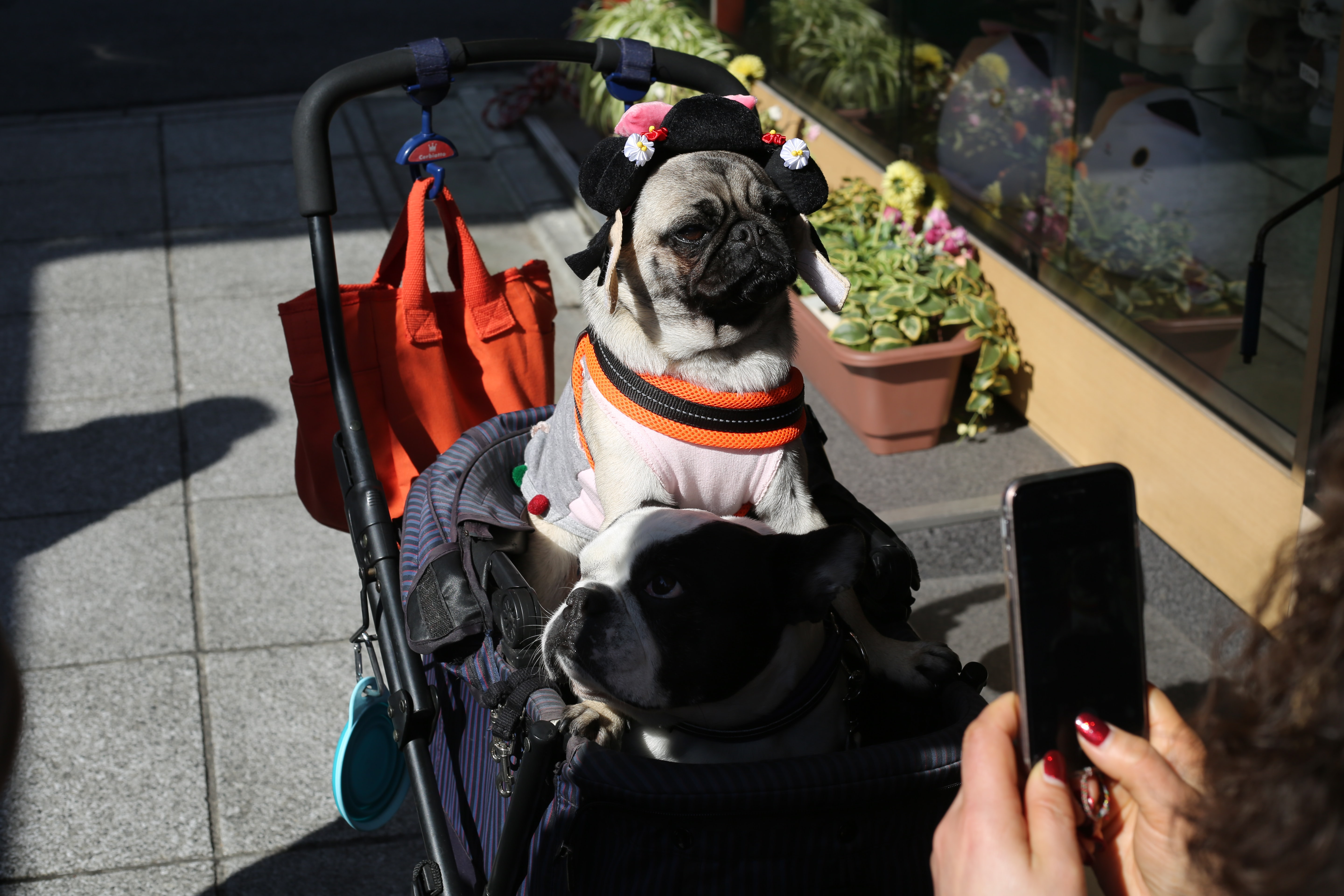 person talking picture of pug on stroller