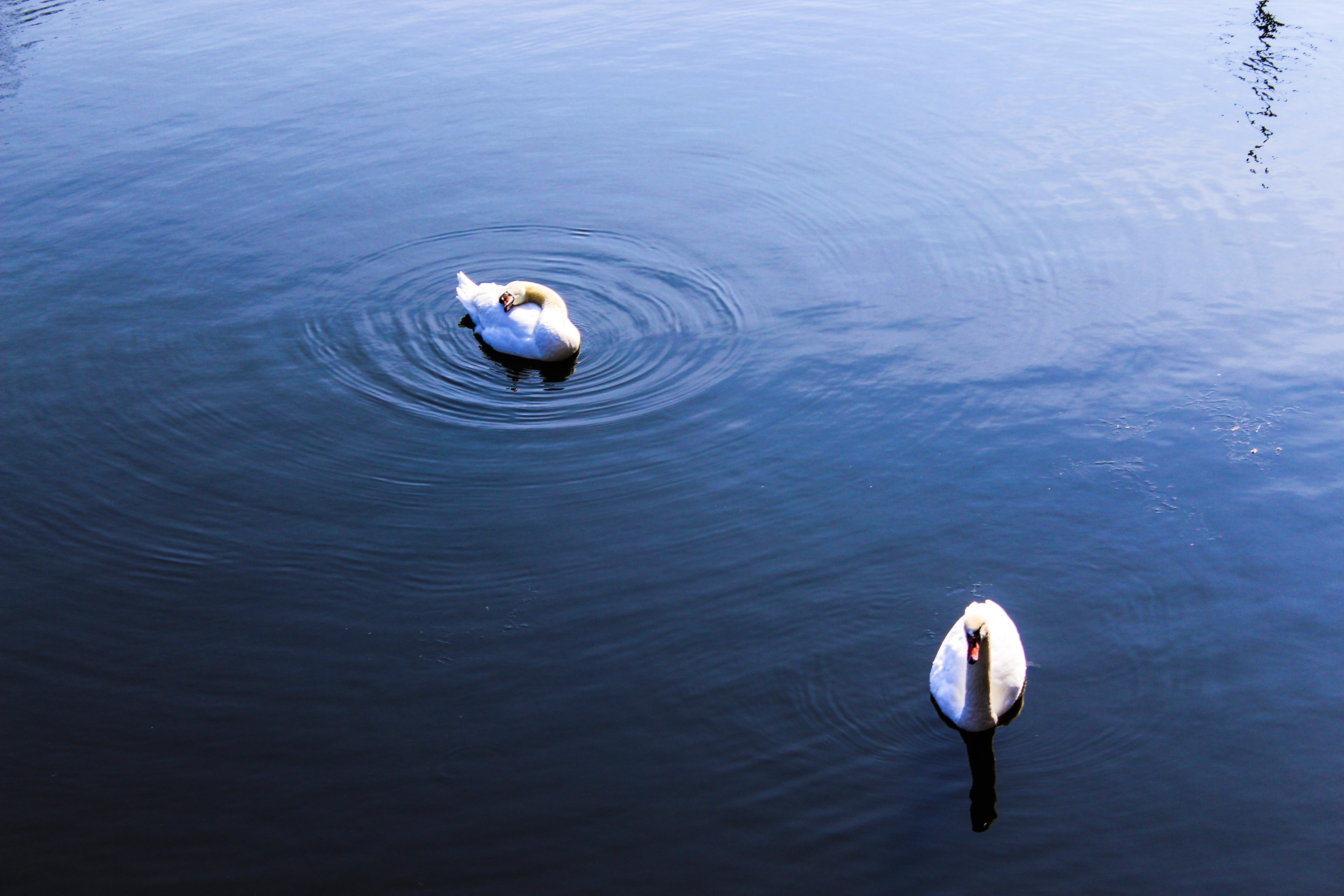 two white swans on body of water at daytime