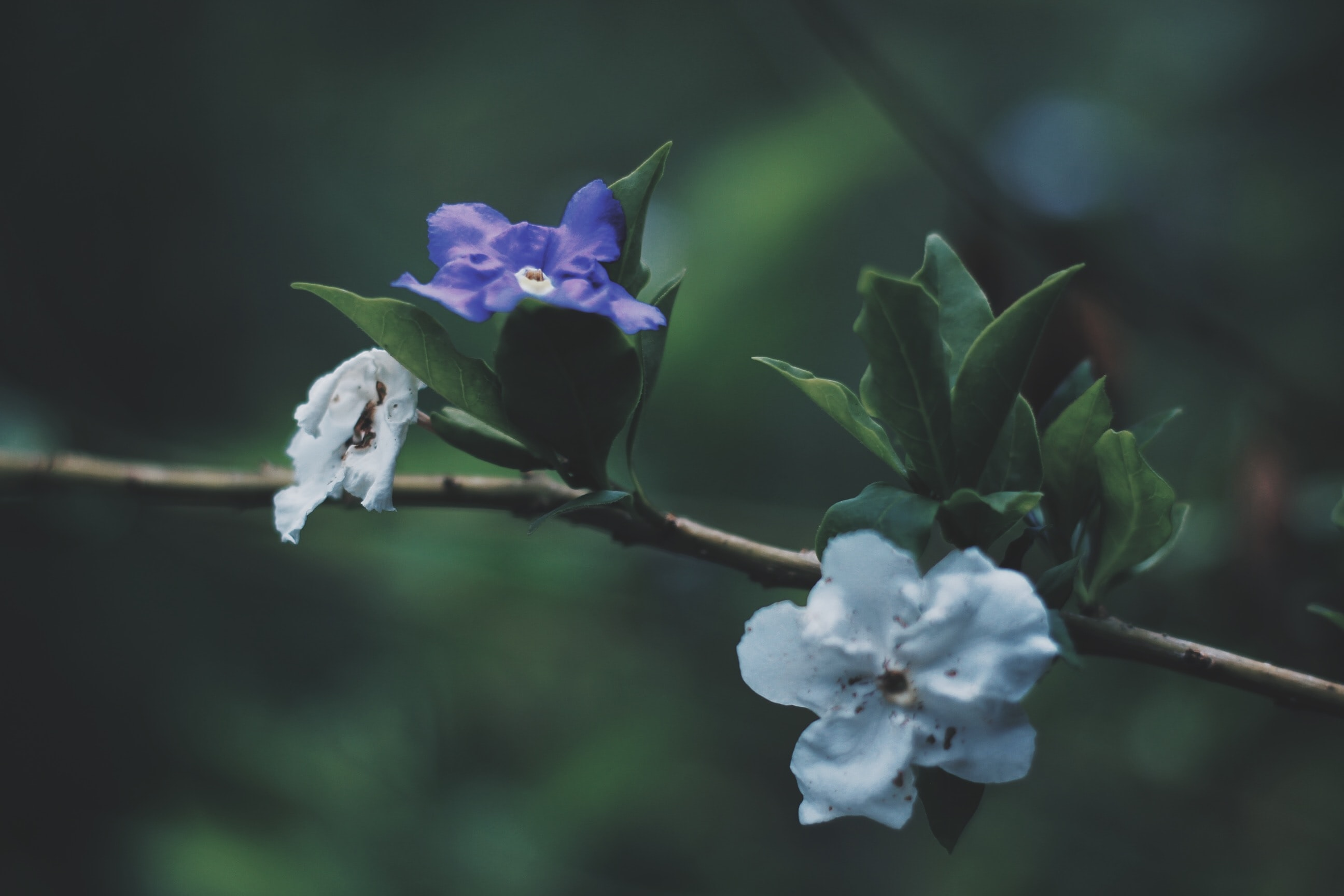 purple and white flowered tree