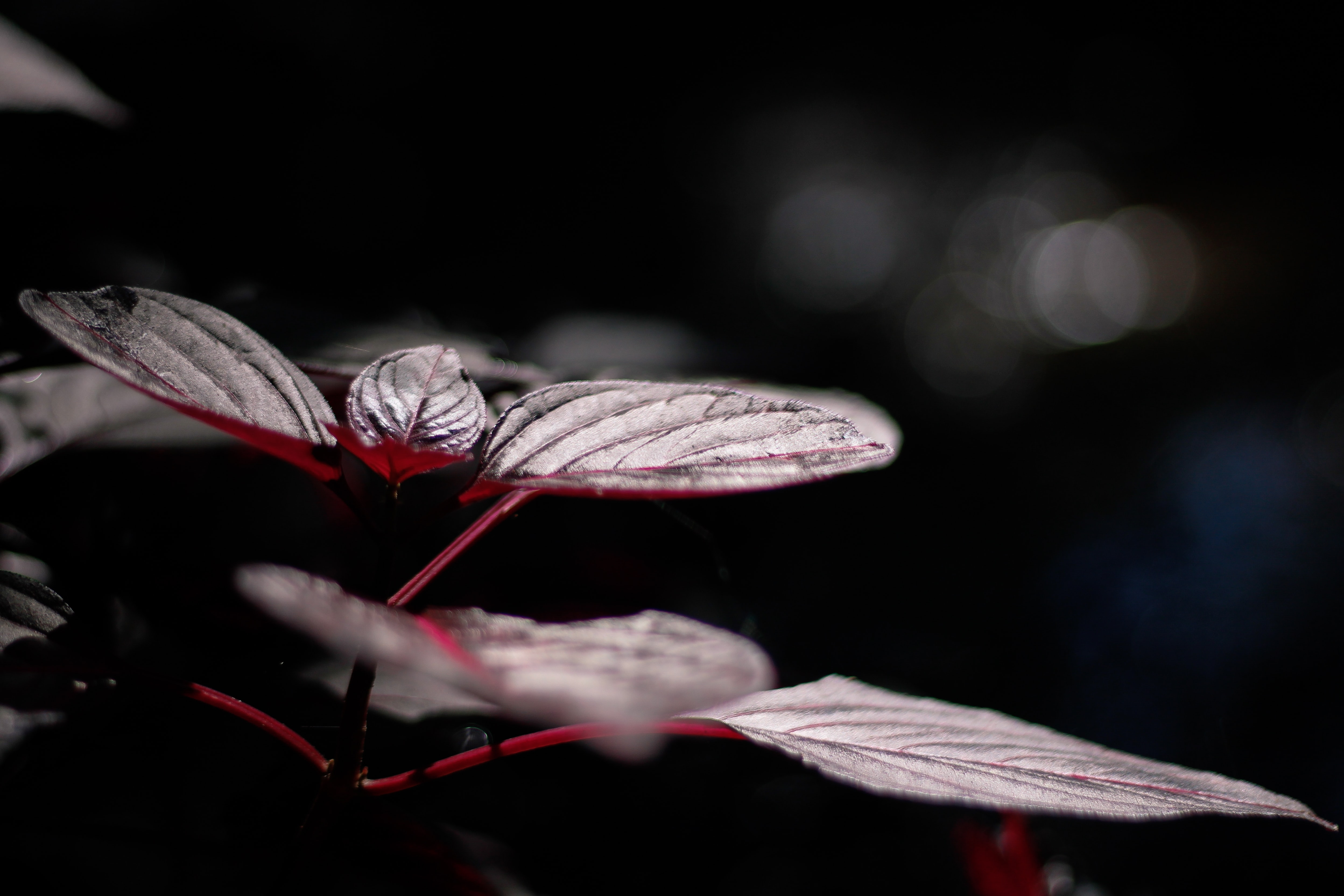 selective focus photo of red leaf plant