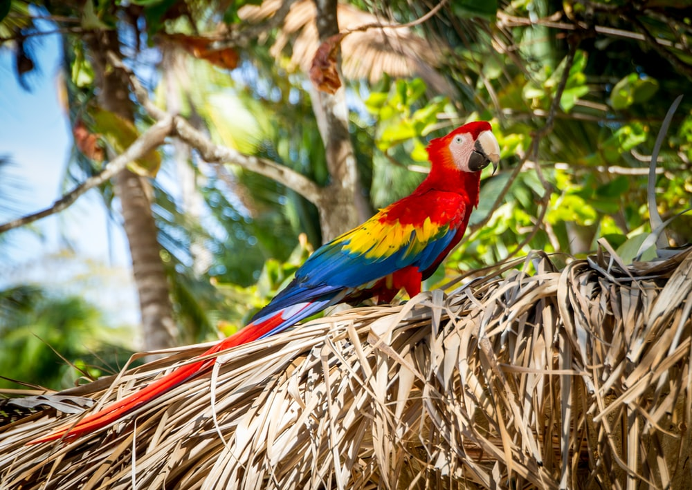 scarlet macaw standing on grass