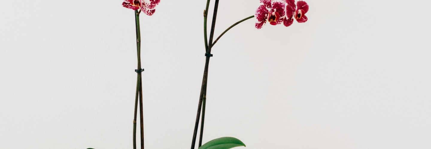 Picking Out Perfect Orchids for Your Garden