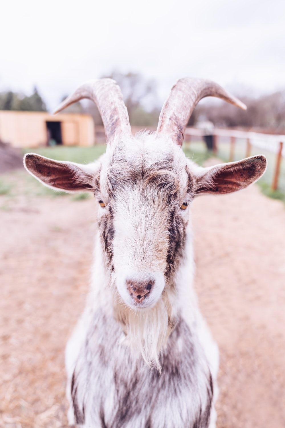 shallow focus photography of white goat