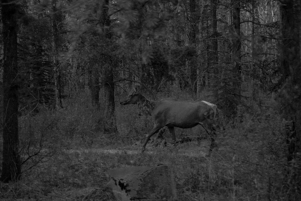 grayscale doe walking in trees