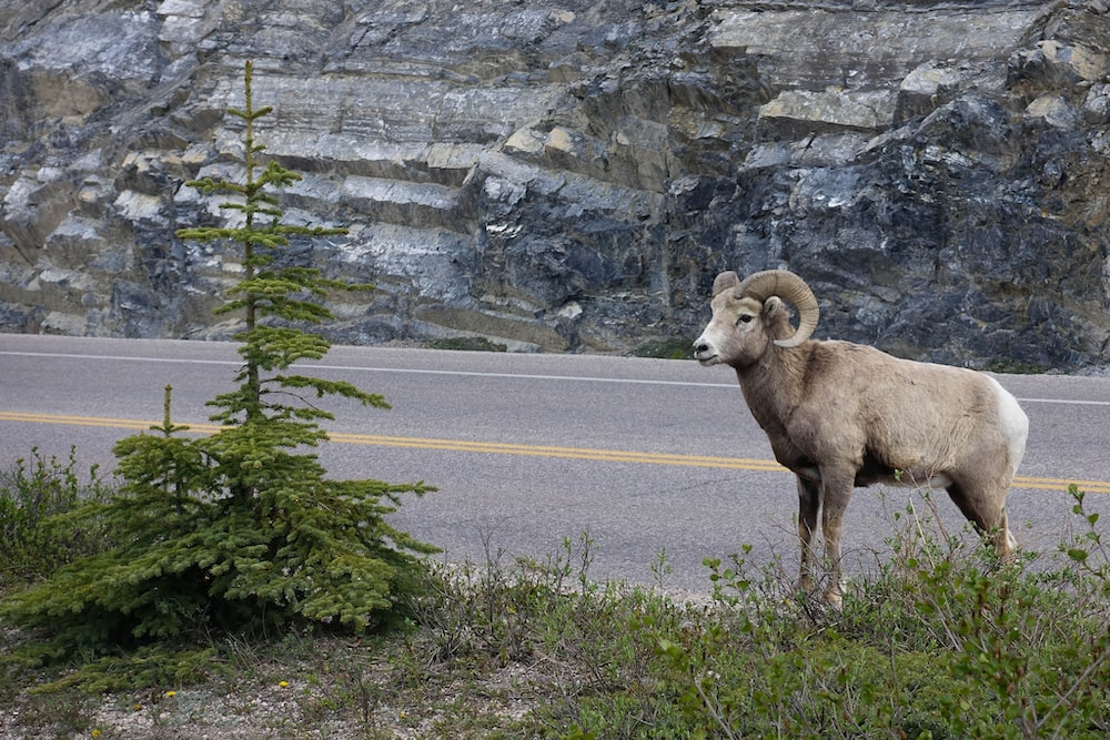 brown goat near concrete road during daytime