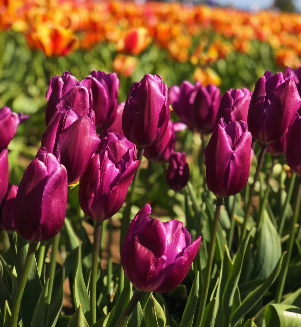 close-up photography of pink tulips flowers during daytime