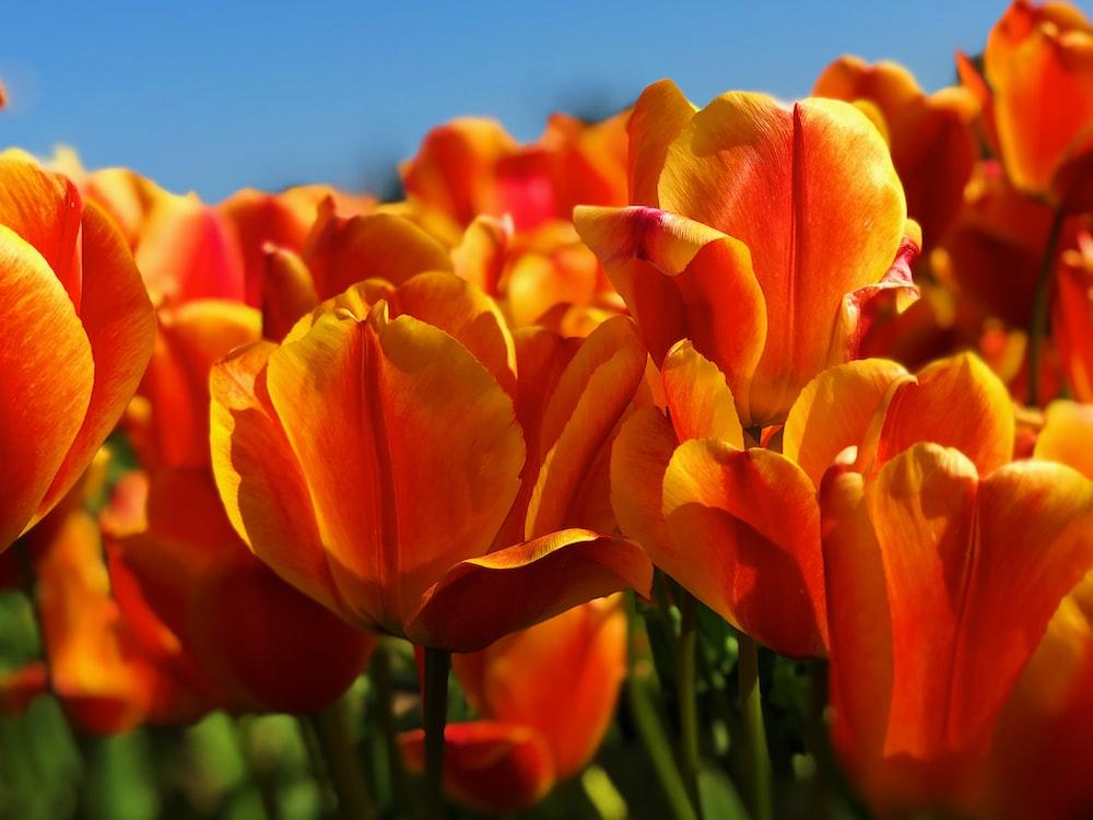 orange tulip flowers under clear skies