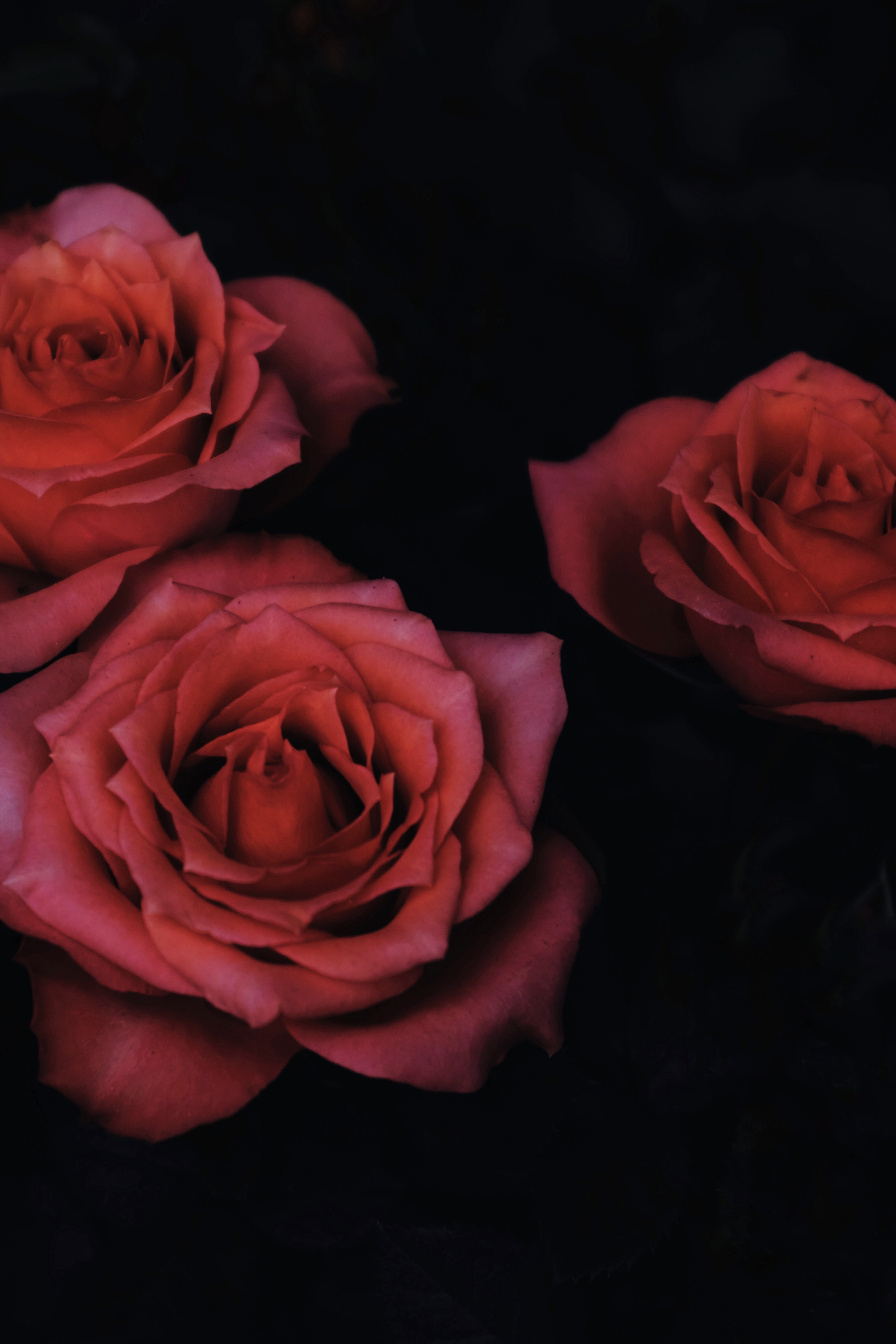 chiaroscuro photography of three red roses