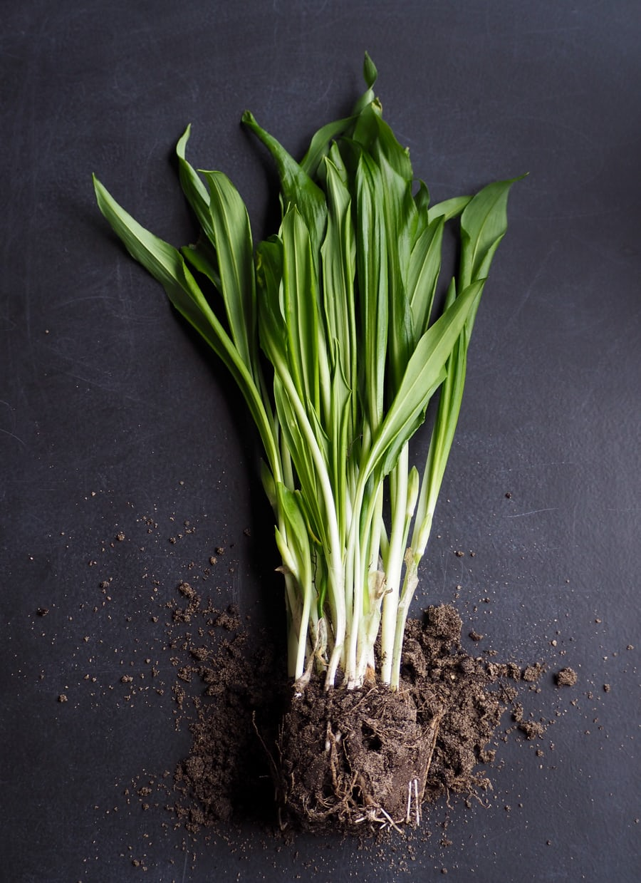 Spring onion picture