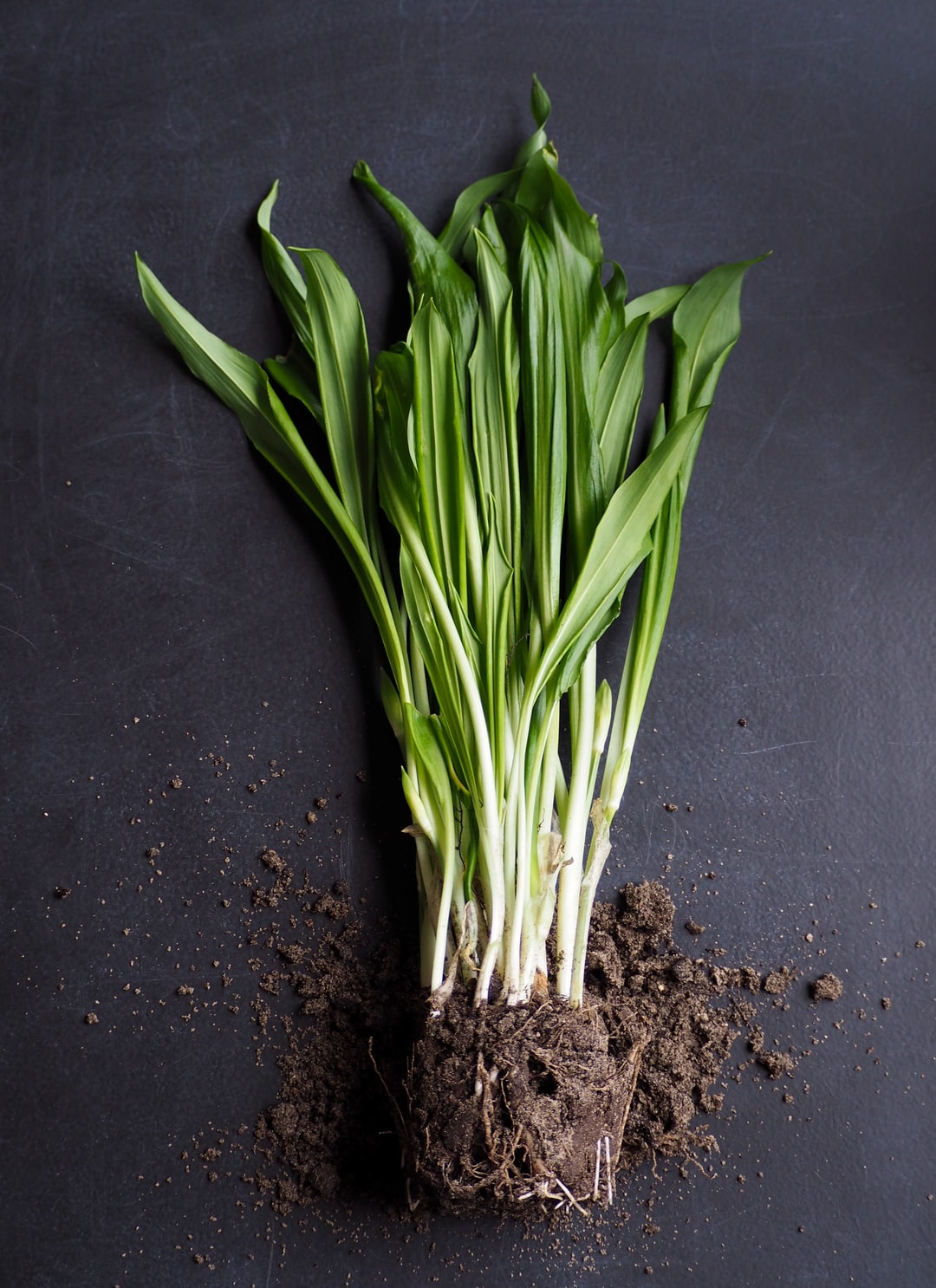 Ramsons with roots