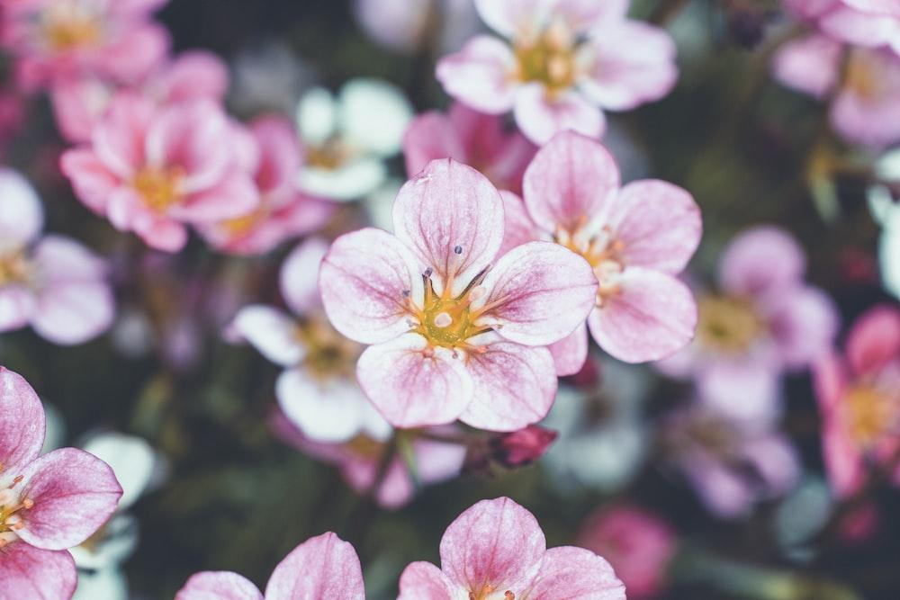 pink 5-petal flower shallow focus photography