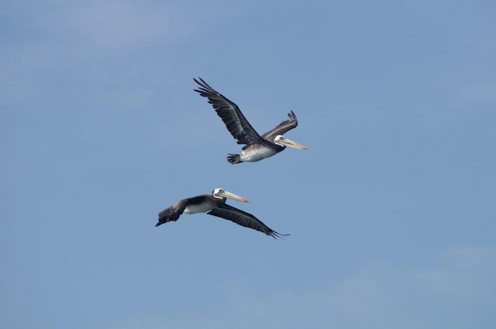 two pelican birds under blue sky
