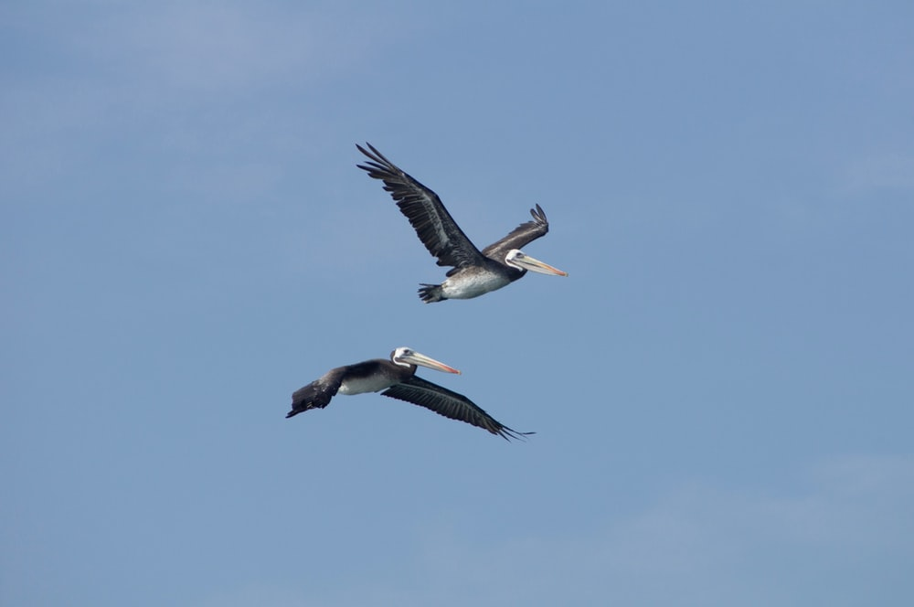 two pelican birds under blue sky