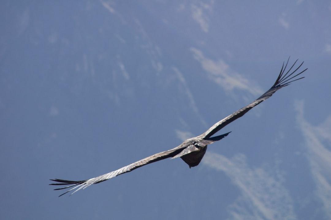 Condor Circling