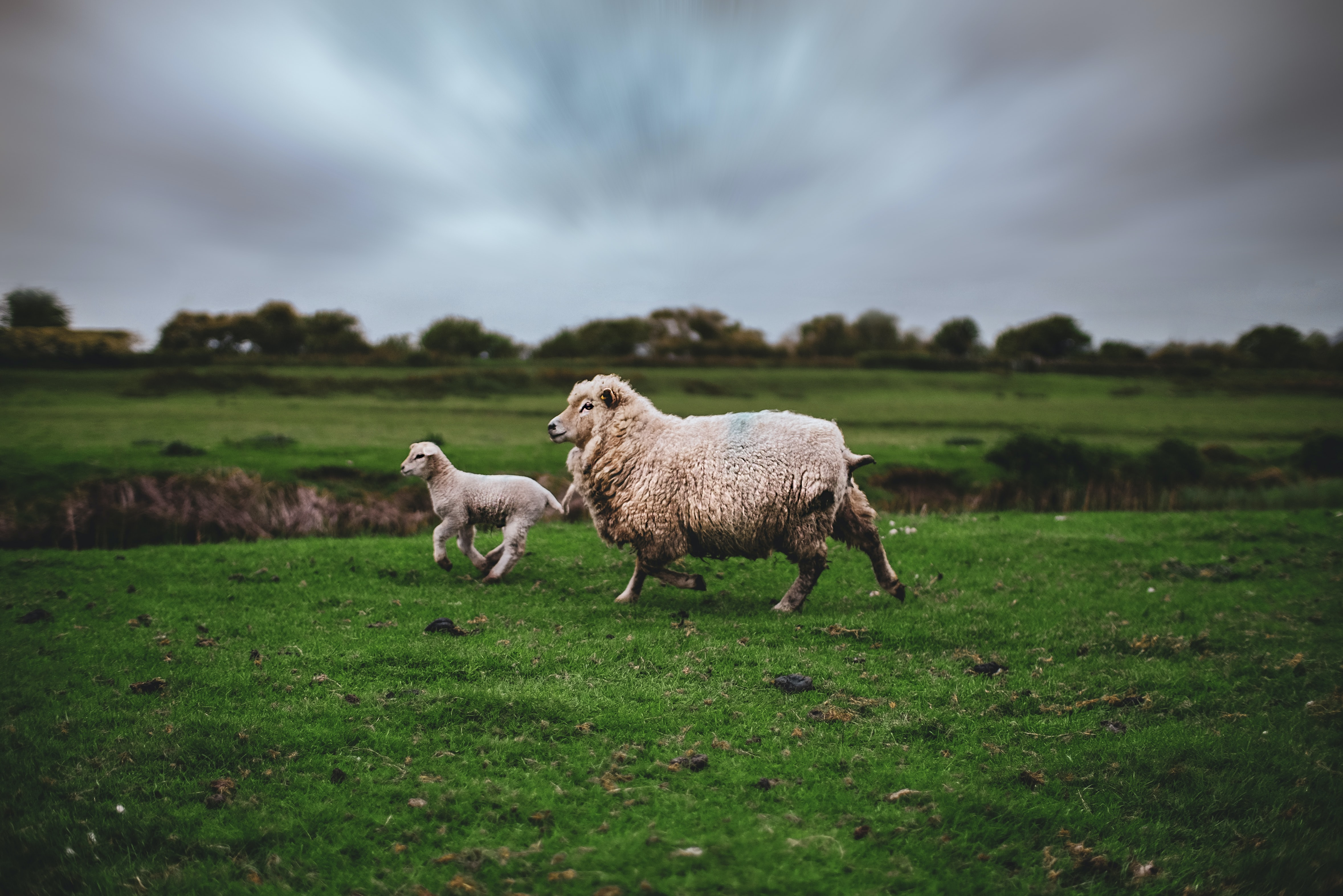 photo of lamb and sheep