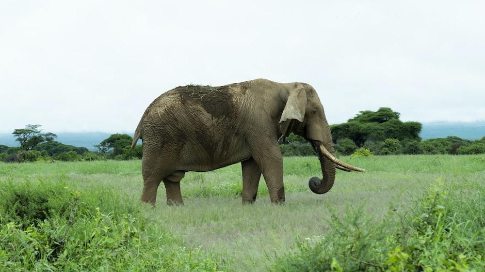 gray elephant on green grass field