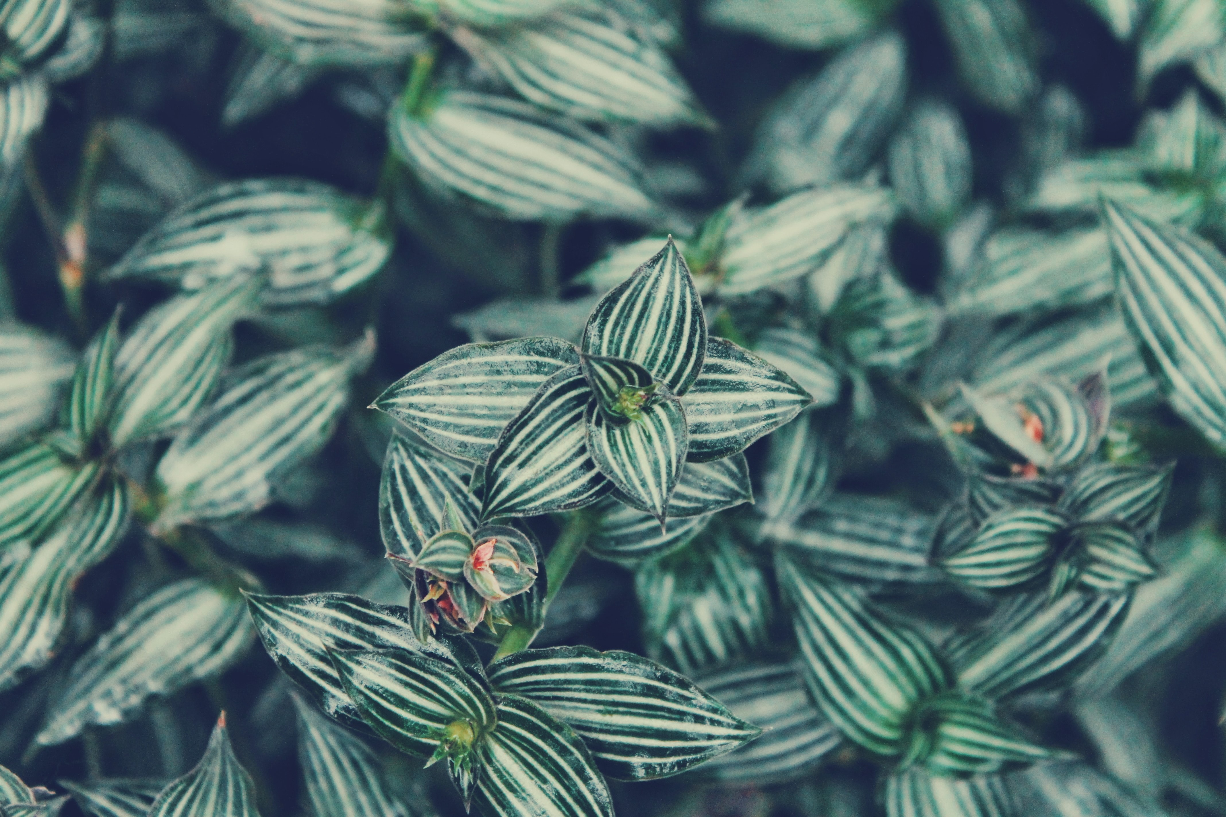 shallow depth of field of striped leafed plant