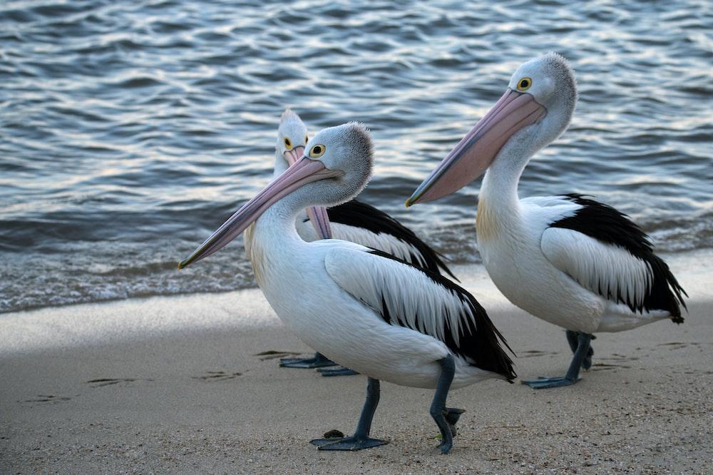 three white pelicans on shore