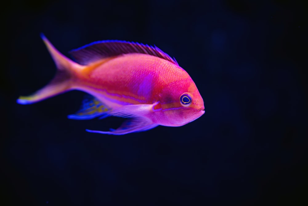 close up photography of red fish