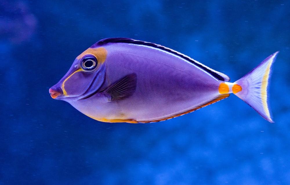 blue and orange tang fish