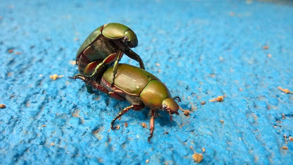 scarab beetle mating