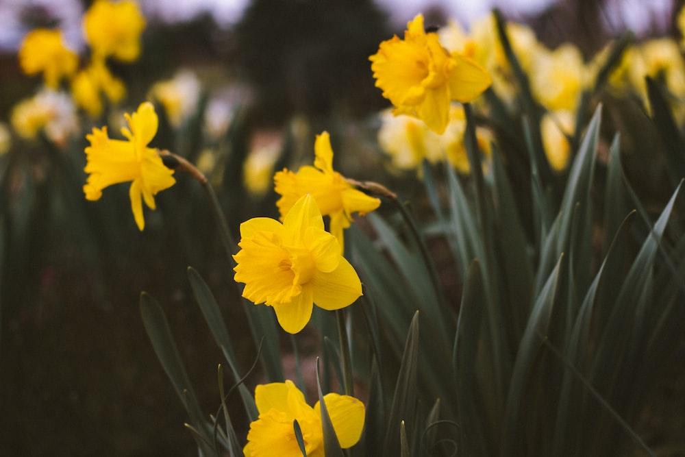 focus photo of yellow petaled flower